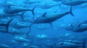 Pesca, innalzate quote tonno