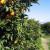 Agrumicoltura, salvaguardia dei territori e nuovi investimenti